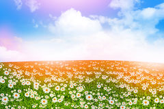 Wildflowers daisies. Summer landscape. Stock Photography