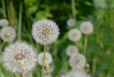 Wildflowers - dandelions Stock Photos