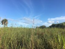Wildflowers dans la région naturelle de clairières de pin dans des marais de la Floride image libre de droits