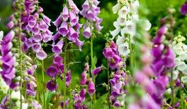 Wildflowers de Alaska Foto de archivo