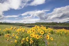 Wildflowers de Arrowleaf Balsamroot en Rowena Crest imagenes de archivo