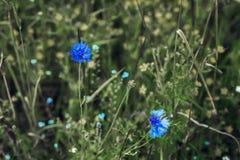 Wildflowers de centáureas azuis bonitas no prado verde para o fundo natural abstrato Foco seletivo Conceito de Imagem de Stock Royalty Free