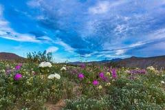 Wildflowers de désert Photographie stock