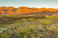Wildflowers de Death Valley Photographie stock