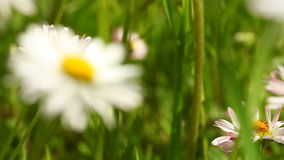 Wildflowers de fleurs de marguerites comme fond de nature Pré banque de vidéos