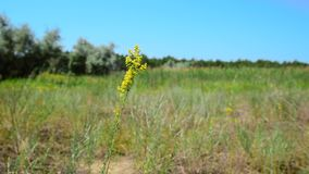 Wildflowers de floraison jaunes banque de vidéos