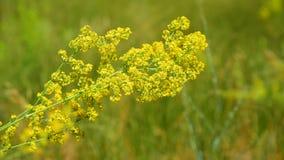 Wildflowers de floraison jaunes un jour d'été banque de vidéos