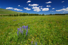 Wildflowers de forêt nationale de mouflon d'Amérique Photo libre de droits