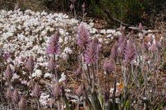 Wildflowers de l'Australien à l'intérieur fleuri - mulla de Mulla devant les marguerites éternelles blanches photos stock