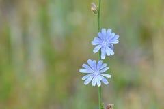 Wildflowers de la achicoria en parque nacional del barranco negro Foto de archivo libre de regalías
