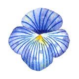 Wildflowers de la acuarela Flowerhead azul claro del pensamiento libre illustration