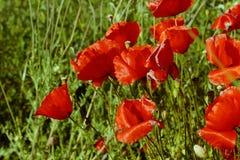 Wildflowers de la amapola en el campo verde Fotos de archivo