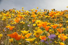 Wildflowers de la Californie en fleur Photos stock
