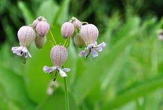 Wildflowers de la coronaria de vejiga Foto de archivo libre de regalías