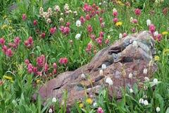 Wildflowers de la montaña de Colorado Imágenes de archivo libres de regalías