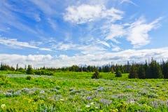 Wildflowers de la península de Alaska - de Kenai Foto de archivo libre de regalías