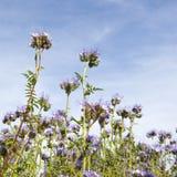 Wildflowers de Lila contra el cielo azul Fotos de archivo libres de regalías