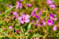 Wildflowers de los laevis del Mirabilis del arbusto de la espoleta del desierto que florecen en Walker Canyon, lago Elsinore, Cal fotografía de archivo