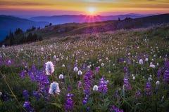Wildflowers de montagne éclairés à contre-jour par coucher du soleil Images libres de droits
