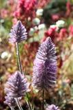 Wildflowers de Mulla Mulla Foto de archivo libre de regalías