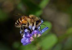 Wildflowers de polinización de la arveja de la abeja de la miel Imagen de archivo libre de regalías