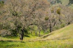 Wildflowers de renoncule de la Californie (californicus de Ranunculus) fleurissant sur un pré parmi des chênes, Henry W Parc d'ét photos stock