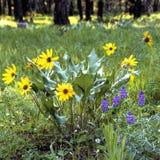 Wildflowers de ressort dans la forêt Photographie stock