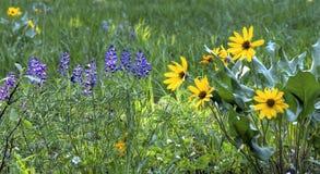 Wildflowers de ressort dans les forêts des montagnes de cascade Photo stock