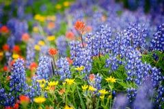 Wildflowers de Ridge do heliotrópio. Fotos de Stock Royalty Free