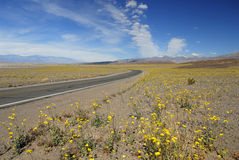 Wildflowers de source dans Death Valley Photos stock