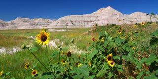 Wildflowers de stationnement national de bad-lands Image stock