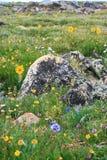 Wildflowers de stationnement national de montagne rocheuse Photos libres de droits