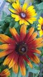 Wildflowers de Susans observés par noir Photos stock