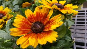 Wildflowers de Susans observés par noir Image libre de droits