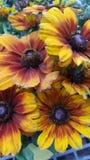 Wildflowers de Susans observés par noir Images libres de droits