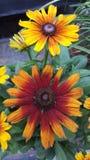 Wildflowers de Susans observés par noir Photographie stock