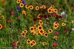 Wildflowers de Texas Plains Coreopsis (tinctoria del Coreopsis) Imágenes de archivo libres de regalías