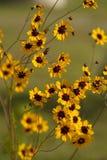 Wildflowers de tinctoria de Coreopsis de l'Alabama Images libres de droits