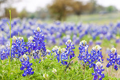 Wildflowers del Bluebonnet di Texas Fotografia Stock Libera da Diritti