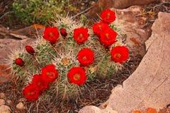 Wildflowers del desierto Imágenes de archivo libres de regalías