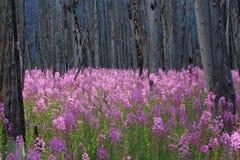 Wildflowers del Fireweed en un bosque quemado Imagen de archivo libre de regalías