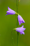 Wildflowers del Harebell Imagen de archivo libre de regalías