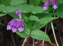 Wildflowers del Penstemon di Davidson Immagine Stock