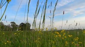 Wildflowers del ranúnculo de arrastramiento en un prado almacen de video