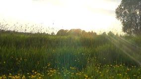 Wildflowers del ranúnculo de arrastramiento en un prado almacen de metraje de vídeo