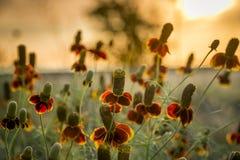 Wildflowers del sombrero mexicano Foto de archivo libre de regalías
