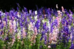 Wildflowers del Texas Fotografie Stock Libere da Diritti