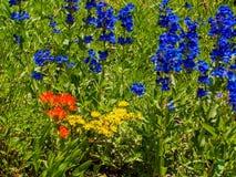 Wildflowers del verano en el área de la salida del sol de Wasatch Rocky Mountains Utah foto de archivo