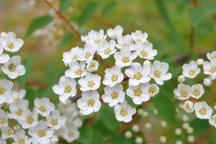 Wildflowers delicados, blancos Imagen de archivo libre de regalías