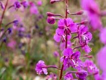 Wildflowers dell'epilobio di Colorado del primo piano di estate immagini stock
